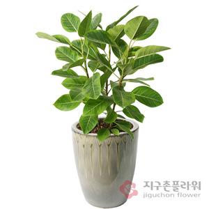 벵갈고무나무(1호)