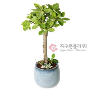 벵갈고무나무(2호)