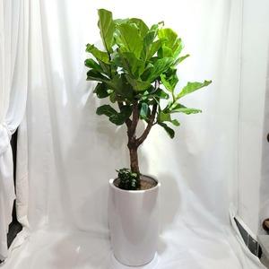 떡갈고무나무 (높이:150cm내외)