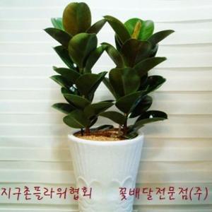 고무나무(인기)