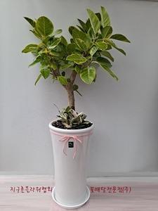 벵갈고무나무(3호)